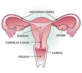 cervical cancer risk my canceriq : cervix diagram - findchart.co